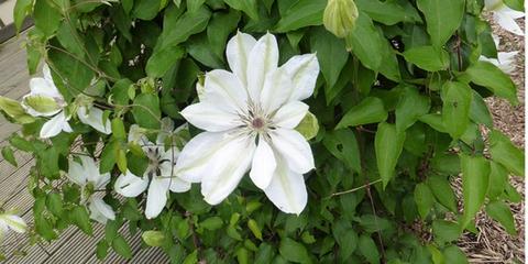 la-fleur-blanche